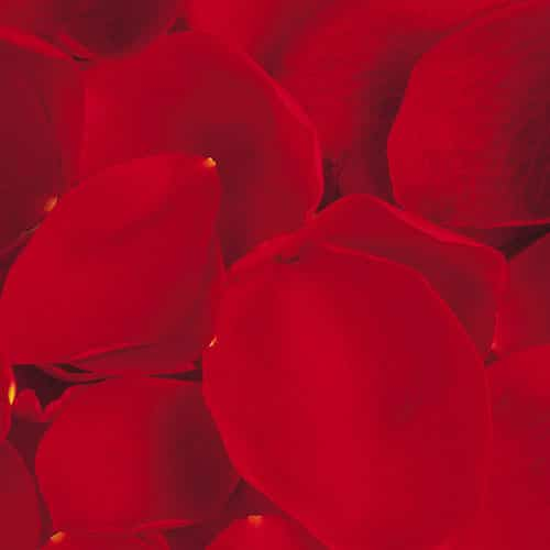 rose petals for your photoshoot